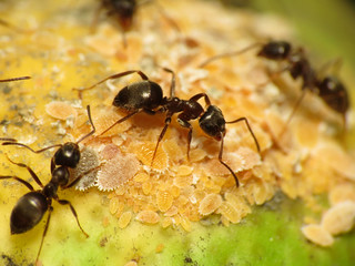 Black Garden Ant tending Citrus Mealybug | by treegrow