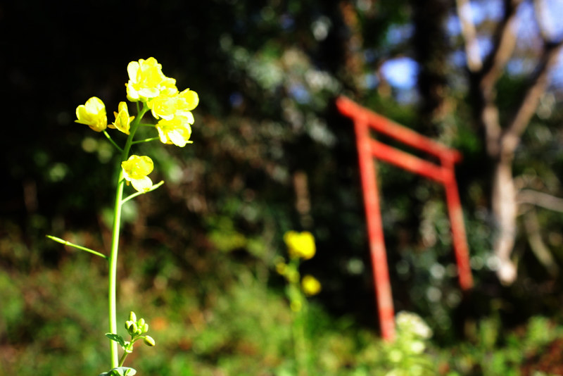 高松山ハイキングコース 菜の花