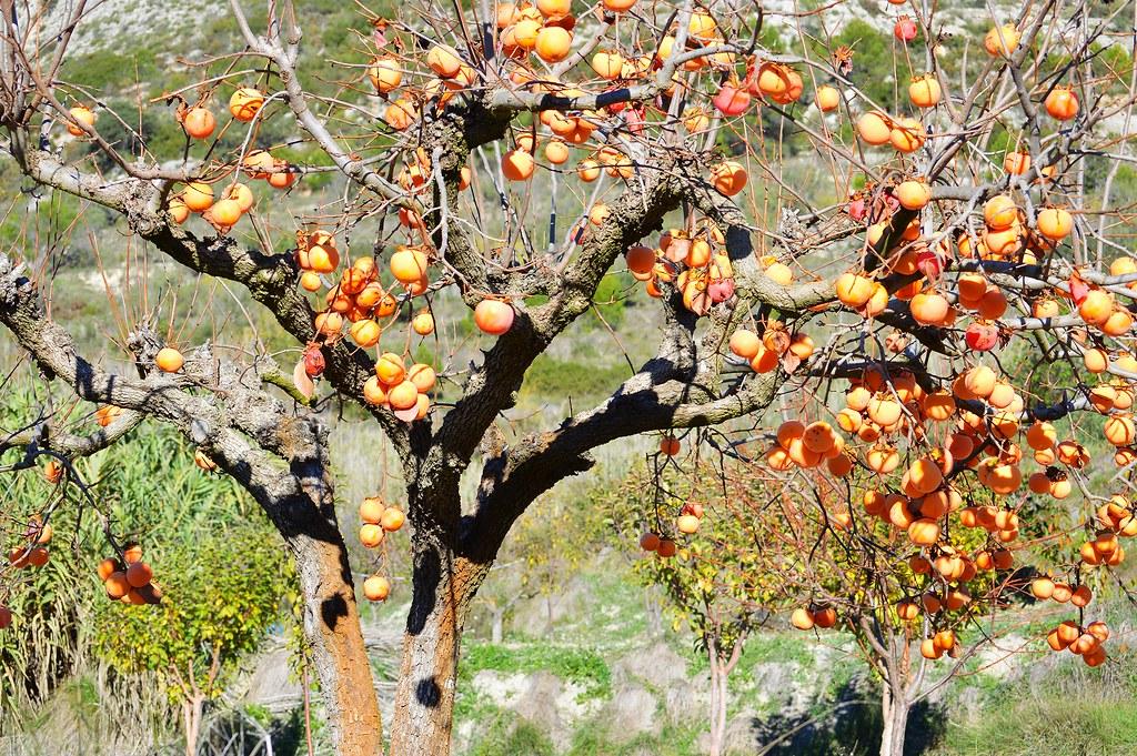Fruta de otoño. Caquis.