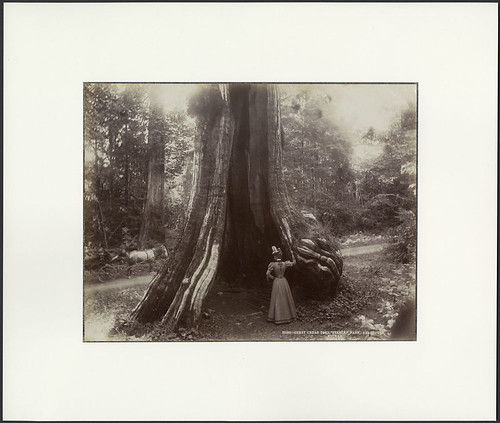 Great cedar tree, Stanley Park, 1897 / Grand cèdre au parc Stanley, 1897 | by BiblioArchives / LibraryArchives