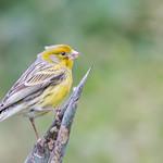 Island Canary (Serinus canaria)-8785