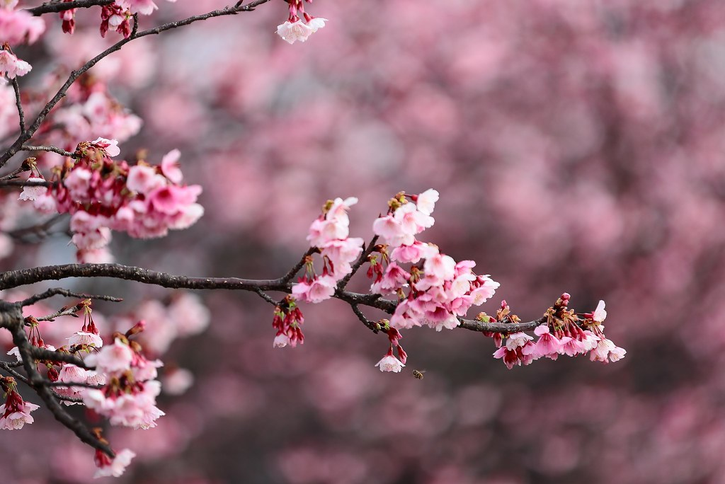 Touching You, Touching Me ~ SAKURA Cherry blossom with a  little bee 平菁街,寒櫻  ~