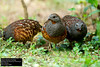 Chinese Bamboo-Partridge (Bambusicola thoracicus sonorivox) by Dave 2x