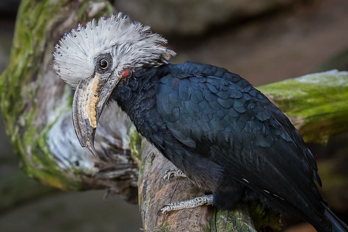 White-crested hornbill | by Bob Worthington Photography