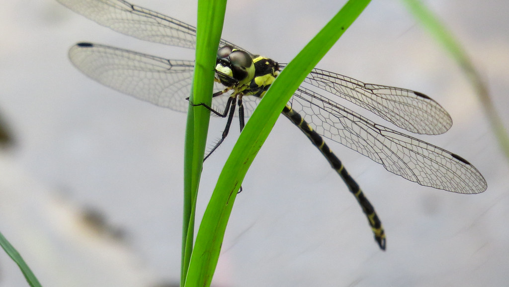 Yellow-tipped Tigertail face