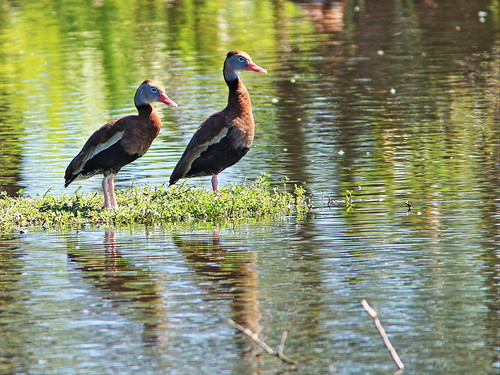 Black-bellied Whistling-Ducks 3-20150212