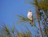 Madagascar kestrel, female (Falco newtoni), Lake Tsimanampetsotsa National Park by Niall Corbet
