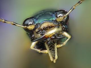 tiger beetle | by Rui Pará