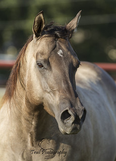 Grulla Quarter Horse (Sage) | by HTrailPhotography