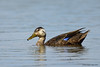 Canard noir / American Black Duck by anjoudiscus