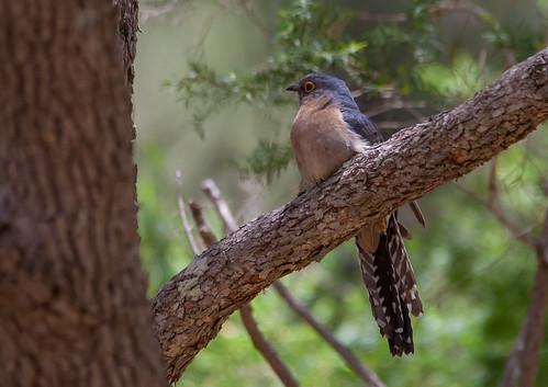 fan-tailed cuckoo (Cacomantis flabelliformis)-6383 | by rawshorty
