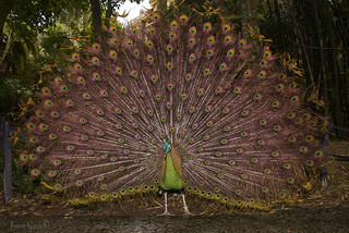 green peafowl (Pavo muticus) | by surferjaws