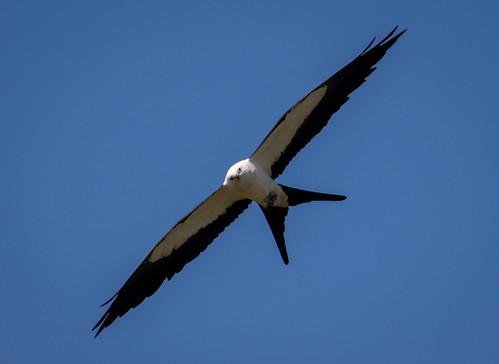 birds kites swallowtailkites sc southcarolina