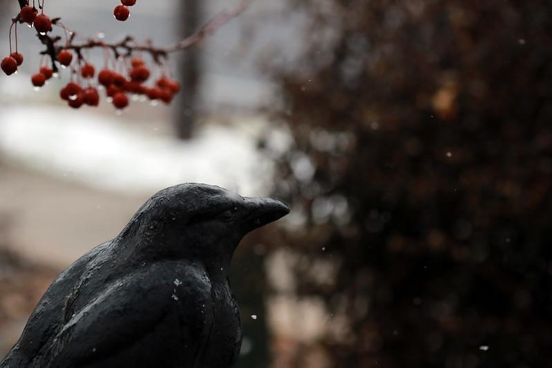 2014 12 14 - Raven snow - 9S3A4161