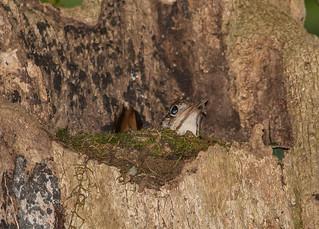 Bassian thrush (Zoothera lunulata)-7875   by rawshorty