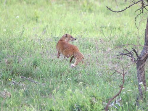 southafrica yellowmongoose pumbaprivategamereserve pumbawaterlodge