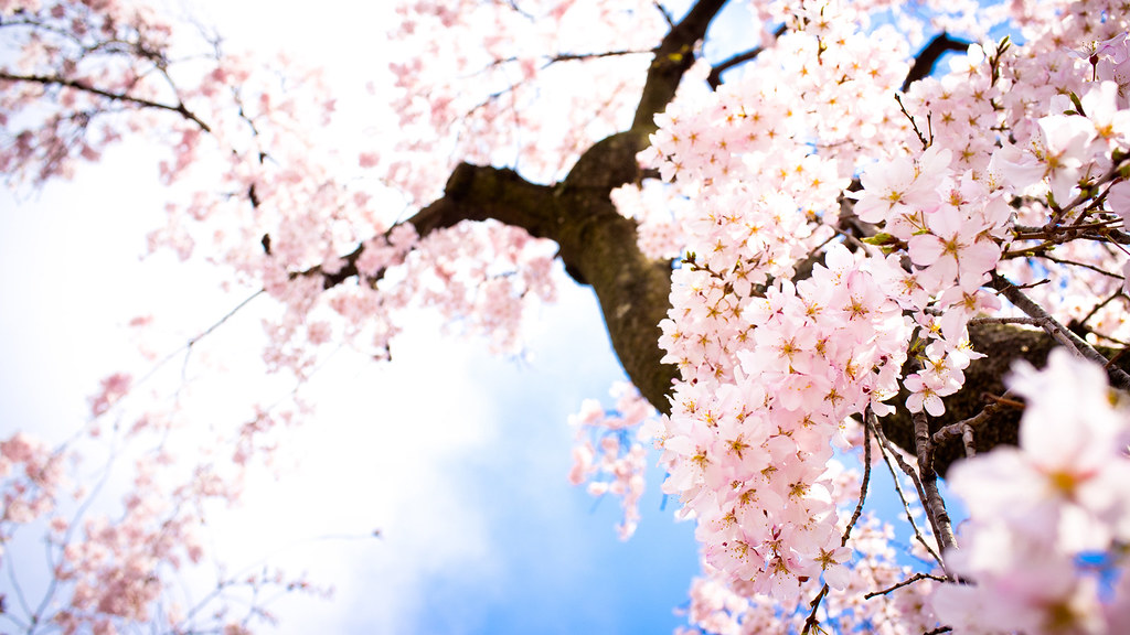 3319 Sakura Flower Wallpaper Hd Wallpapers Sakura Flower W