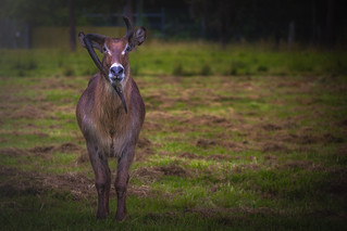 One of a Kind | Waterbuck | by rmehdee