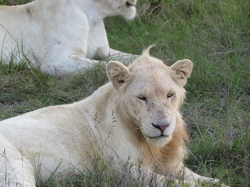 southafrica lion pumbaprivategamereserve pumbawaterlodge