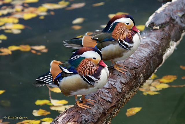 Mandarin ducks on a log