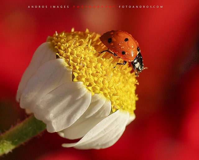 Los coccinélidos (Mariquitas), son insectos pequeños, con un tamaño reducido que va de 5 a 8 milimetros. // The ladybird beetles (ladybugs) are small insects, with a reduced size from 5-8 millimeters.