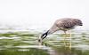 Yellow-crowned Night-Heron by rhysmarsh