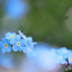 forget-me-not in blue.