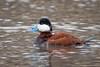 Ruddy Duck by jrp76