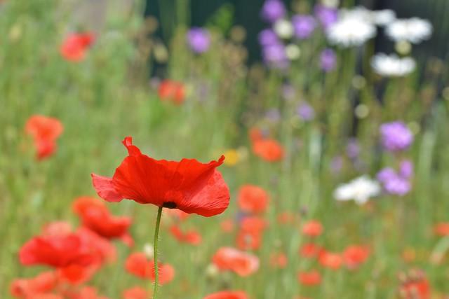 Poppies... .