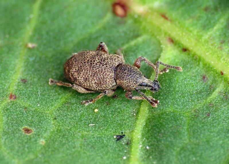 Clay-coloured Weevil - Otiorhynchus singularis