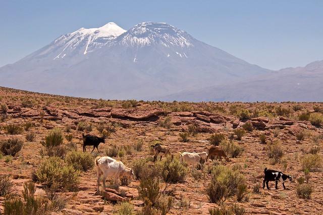Rebaño de cabras. Caspana. Antofagasta. Chile.
