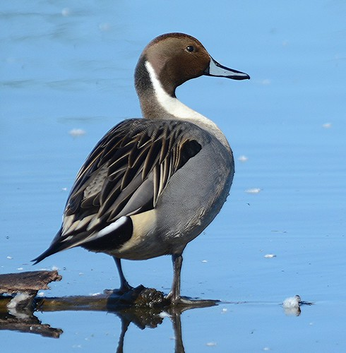 Northern Pintail | by birding4ever