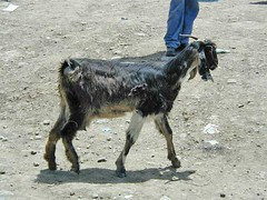 mar, 01/20/2015 - 05:07 - Species name: Goat (photo credit: ILRI).