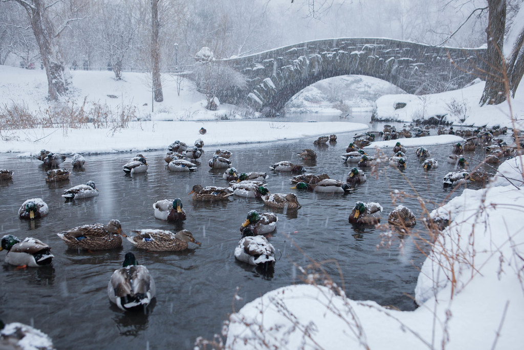 Ducks in Central Park Blizzard of 2015