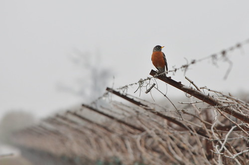 lonely robin | by HockeyholicAZ
