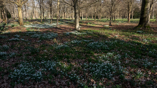 Daffodils and snowdrops - Petworth House - woodlands