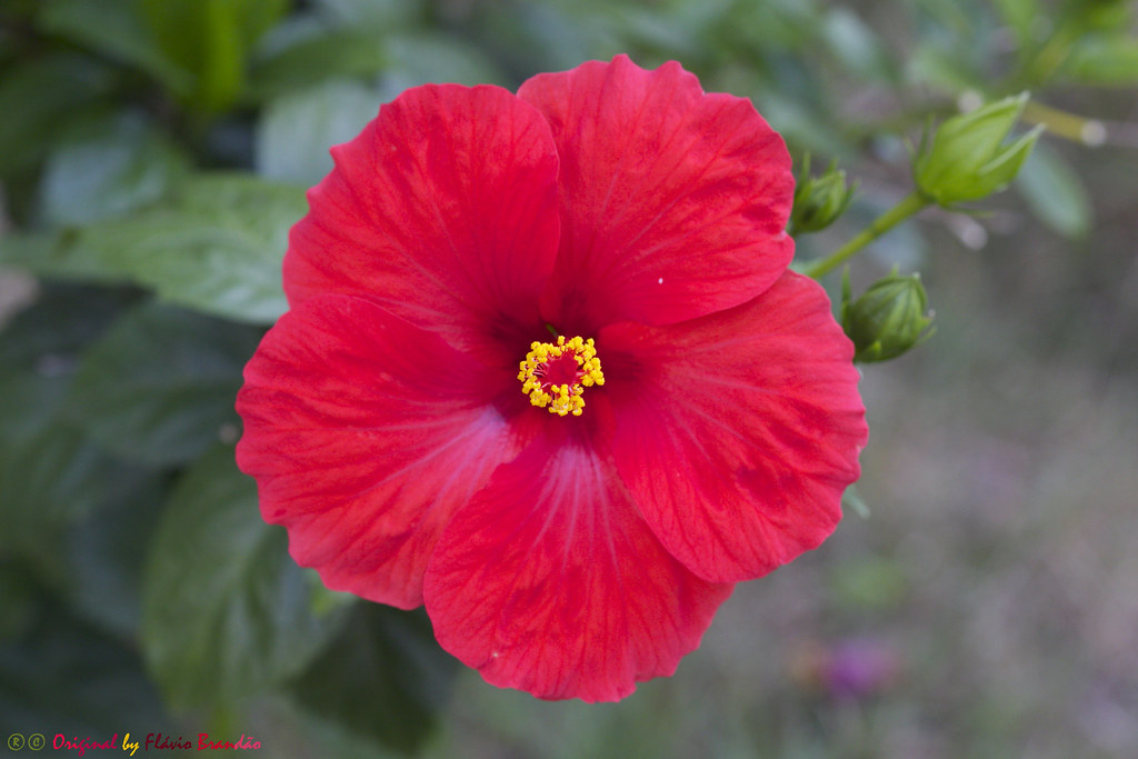 Série Com Flores Hibiscos Series With Flowers Hibis Flickr