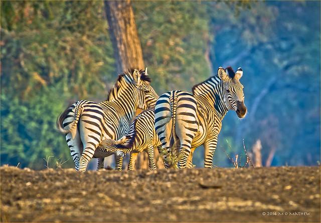 Zebra family...