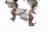 IMG_4575.jpg Canvasback ducks by ldjaffe