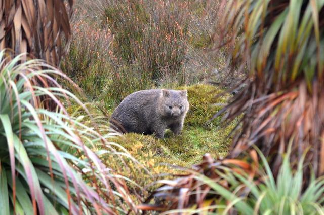Tasmanian wombat (Tasmania)