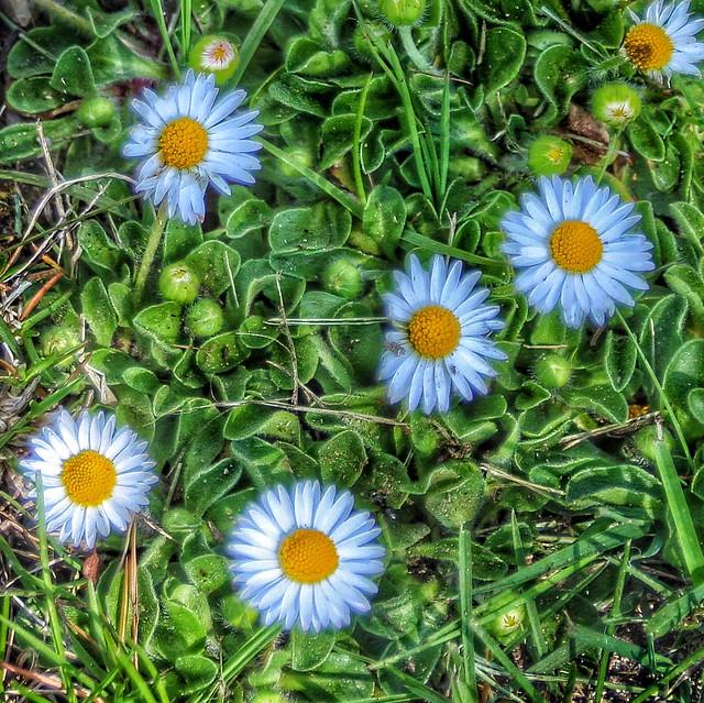 Toronto Ontario ~ Canada ~ Edwards Botanical Gardens ~   Daisy with Bokehs