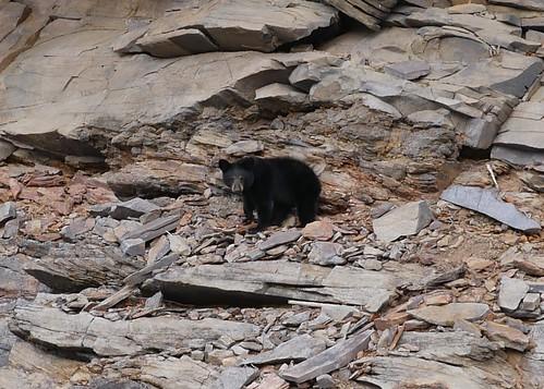 Photo of black bear
