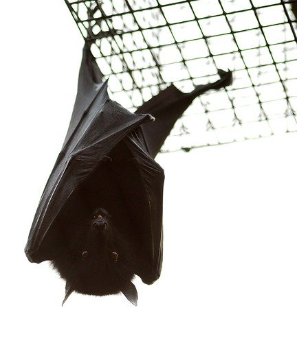 Livingstone's Fruit Bat (Pteropus livingstonii) | by guppiecat