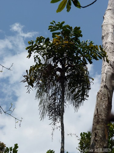 Dypsis nodifera/pinnatifrons | by olivier.reilhes