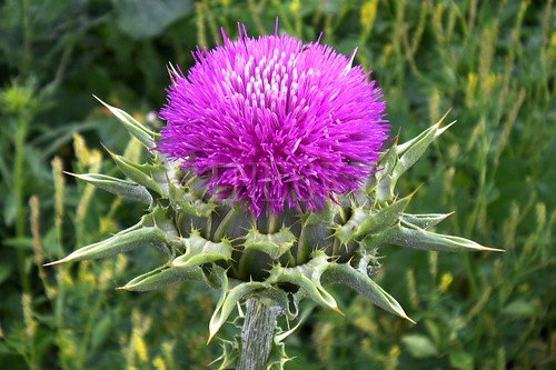milk thistle extract 3- www.fineskybiotech.com | by numbwong