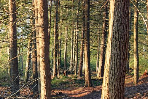 trees winter nature forest hiking pennsylvania creativecommons coniferous sullivancounty hemlocks endlessmountains tsugacanadensis easternhemlocks loyalsockstateforest needleduff fernrocknaturetrail