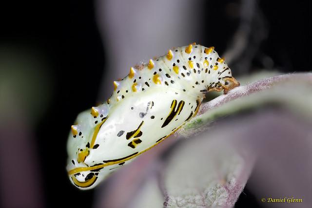 Euptoleta Claudia chrysalis