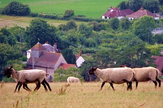 Pastoral Sheep   by grassrootsgroundswell