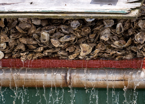 Photo of oyster shells prepared for seeding restoration area