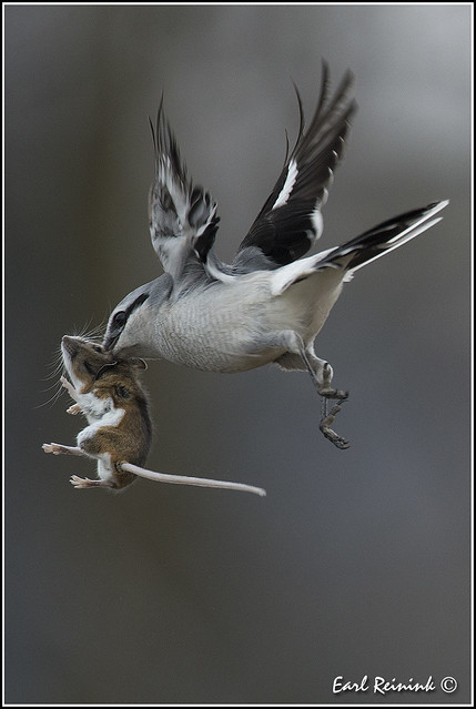 Northern Shrike with Deer mouse